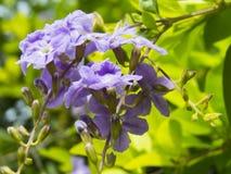 Erecta Duranta ή χρυσά λουλούδια δροσοσταλίδων. Στοκ φωτογραφία με δικαίωμα ελεύθερης χρήσης
