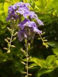 Erecta Duranta ή χρυσά λουλούδια δροσοσταλίδων. Στοκ Εικόνες