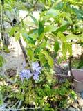 erecta duranta λουλουδιών Στοκ εικόνα με δικαίωμα ελεύθερης χρήσης