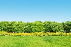 Erecta L de Duranta e hierba y con el fondo azul del espacio Foto de archivo libre de regalías