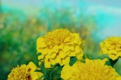 Erecta Tagetes ή γαλλικό κίτρινο marigold Στοκ Εικόνες