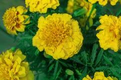 Erecta Tagetes ή γαλλικό κίτρινο marigold Στοκ φωτογραφίες με δικαίωμα ελεύθερης χρήσης