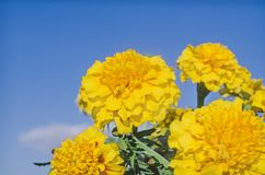 Erecta Tagetes ή γαλλικό κίτρινο marigold Στοκ φωτογραφία με δικαίωμα ελεύθερης χρήσης