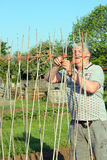 Erecting poles or sticks for climbing beans. Stock Image