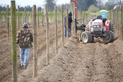 Erecting Posts for Raspberry Crop Royalty Free Stock Photo