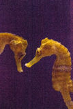 Erectus allineato dell'ippocampo dell'ippocampo Fotografie Stock