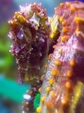 erectushippocampusseahorse Royaltyfri Bild