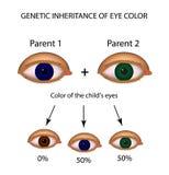 Eredità genetica di colore degli occhi Brown, blu, occhi verdi illustrazione vettoriale