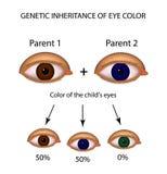 Eredità genetica di colore degli occhi Brown, blu, occhi verdi Infographics illustrazione vettoriale