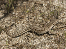 Eremias arguta. Steppe runner (Eremias arguta) is a small bodied lizard which occur in Northern part of the Asia, Eastern Europe in sandy habitats Royalty Free Stock Photo