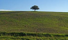 Eremita da árvore Imagens de Stock Royalty Free