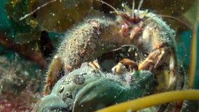 Eremita del Cancro alla ricerca di alimento subacqueo sul mare di Barents stock footage