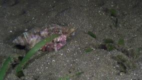 Eremita del Cancro nelle coperture subacquee in oceano di Filippine stock footage