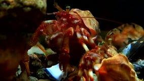 Eremita del Cancro subacquea alla ricerca di alimento su fondale marino del mar Bianco Russia archivi video