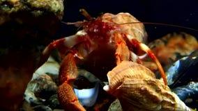 Eremita del Cancro subacquea alla ricerca di alimento su fondale marino del mar Bianco Russia stock footage