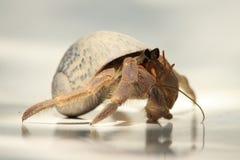 eremita del granchio dei 2 Caraibi Immagini Stock