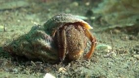 Eremita do câncer à procura do alimento subaquático no mar de Barents video estoque