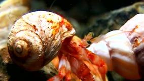 Eremita do câncer subaquático à procura do alimento no fundo do mar do mar branco Rússia vídeos de arquivo