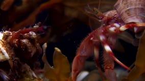 Eremita e stelle marine del Cancro subacquee alla ricerca di alimento su fondale marino del mar Bianco archivi video