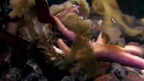 Eremita e stelle marine del Cancro subacquee alla ricerca di alimento su fondale marino del mar Bianco stock footage