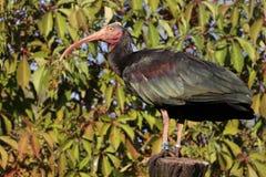 eremita ibis obrazy royalty free