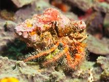 Eremita kosmaty czerwony krab Zdjęcia Stock