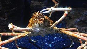 Eremita krab na dennych pogodnych plażach Zdjęcie Royalty Free