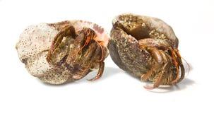 Eremita krab od Czarnego morza odizolowywającego Obraz Royalty Free