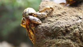 Eremita krab ono zmaga się wspinać się skałę zdjęcie wideo