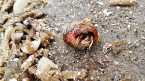 Eremita krab przy plażą Obraz Stock
