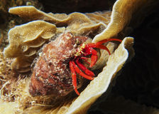 Eremita krab Roatan, Honduras obrazy royalty free