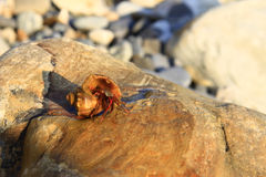 Eremita krab wśrodku а smalll dennego ślimaczka skorupy na kamieniu Obrazy Royalty Free