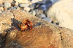 Eremita krab wśrodku а smalll dennego ślimaczka skorupy na kamieniu Zdjęcia Royalty Free