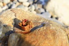 Eremita krab wśrodku а smalll dennego ślimaczka skorupy na kamieniu Fotografia Royalty Free