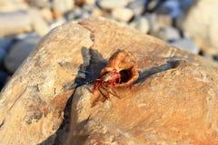 Eremita krab wśrodku а smalll dennego ślimaczka skorupy na kamieniu na Fotografia Royalty Free