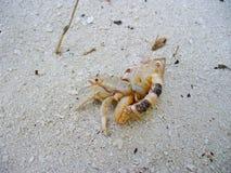 Eremita krab w skorupie zdjęcie stock
