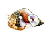 Eremita kraba inside skorupa Zdjęcia Royalty Free