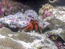 Eremita kraby podwodni Obraz Stock