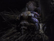 Eremite Krab in shell Stock Afbeelding