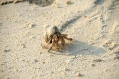 Eremitkrabba med ut shelllat Paguroidea eremitkrabbalat PA Fotografering för Bildbyråer