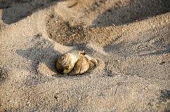 Eremitkrabba med ut shelllat Paguroidea eremitkrabbalat PA Royaltyfria Bilder