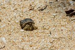 Eremitkrabba på sandig strand Arkivbilder