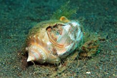 Eremitkrabba som äter en havsgatubarn Royaltyfria Bilder