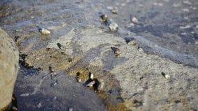 Eremitkrabbor i vattnet arkivfilmer