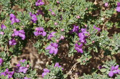Eremophila nivea purple flowers blossom Stock Photography