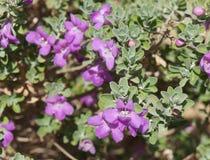 Eremophila nivea purple flowers blossom Royalty Free Stock Image