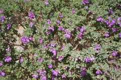 Eremophila nivea purple flowers blossom Royalty Free Stock Photography