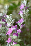 Eremophila nivea. Purple flowers blossom, selective focus on the flower Royalty Free Stock Photo