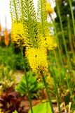 Eremurus Royalty Free Stock Images
