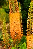 Eremurus Royalty Free Stock Photography